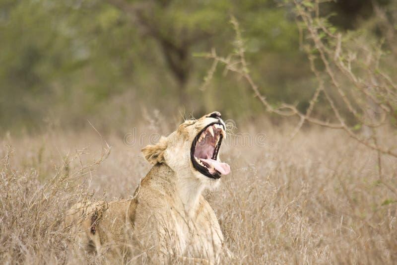 Löst behandla som ett barn lejon som spelar, den Kruger nationalparken, SYDAFRIKA royaltyfria bilder