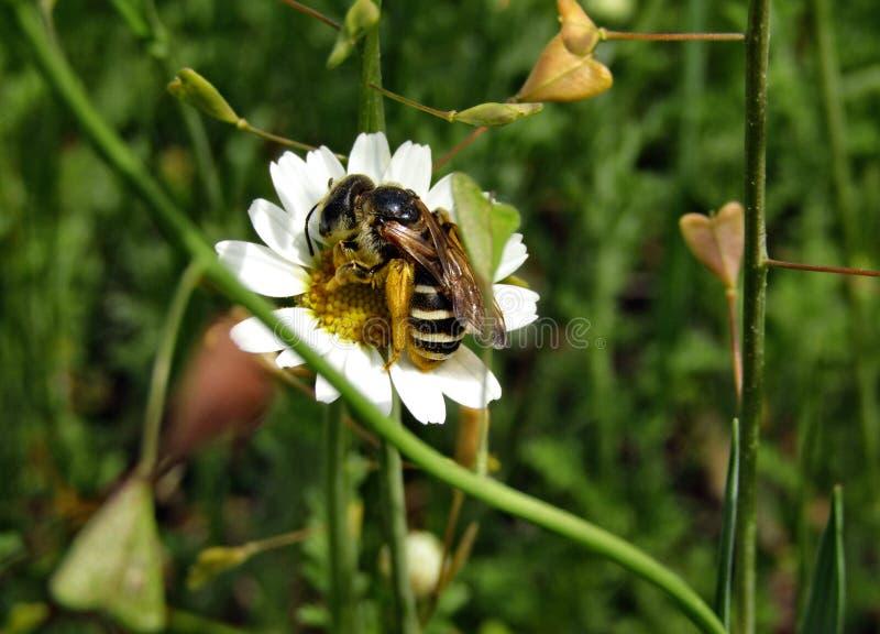 Löst bi på leucanthemumvulgare för vit blomma arkivfoto