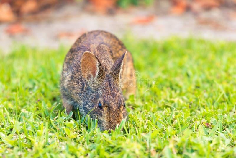 Löst brunt norr - amerikansk kanin som söker efter föda i ett öppet gräsfält royaltyfria foton