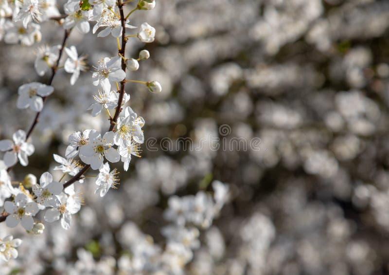 Löst Cherry Blossom träd i det härliga symbolet för UK England av våren som ankommer arkivbilder