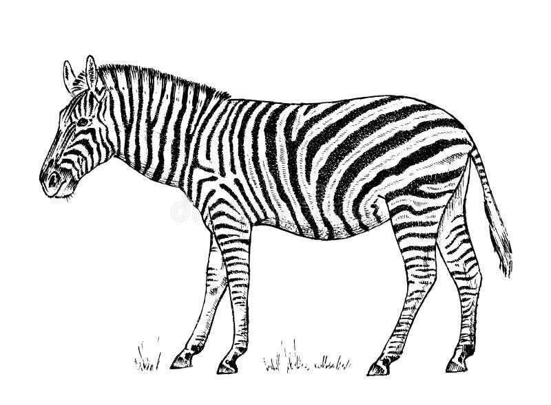 Löst djur för afrikansk sebra på vit bakgrund randig svart vit häst Inristad handen dragen tappningmonokrom skissar stock illustrationer