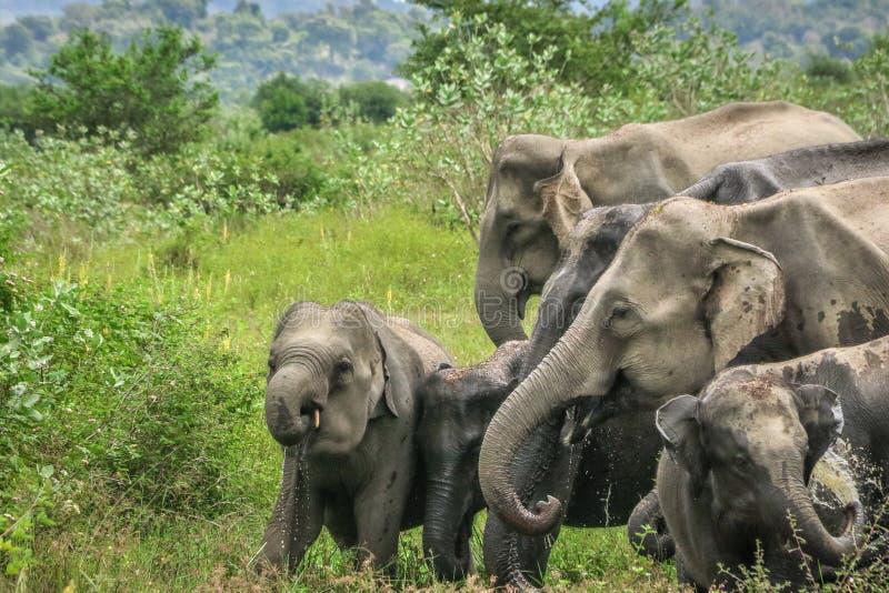 Löst elefantfamiljdricksvatten, Maduru Oya, Sri Lanka arkivfoton
