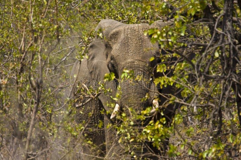 Löst elefantnederlag i busken, Kruger nationalpark, SYDAFRIKA arkivfoton