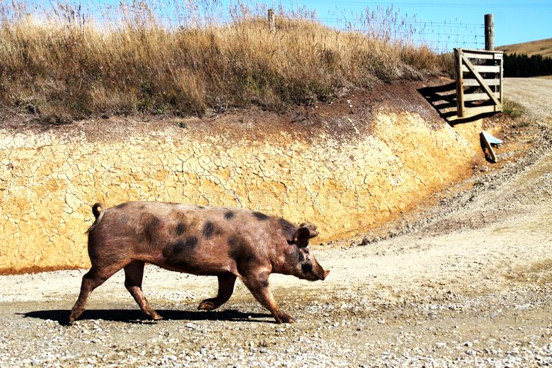 Löst gå för svin arkivfoton