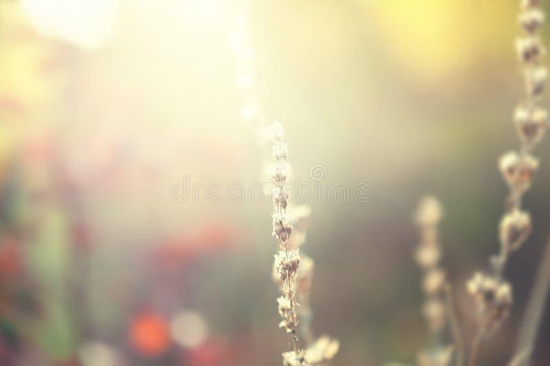 Löst gräs i ett fält på solnedgången royaltyfri foto