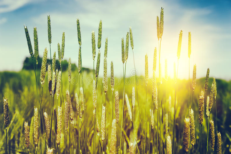 Löst gräs på sommarsolnedgången royaltyfri bild