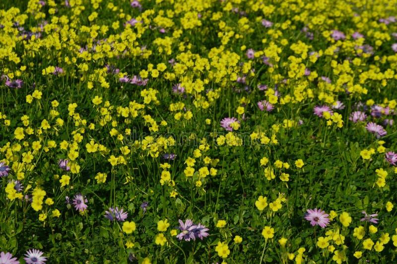 Löst gult och purpurfärgat blommafält royaltyfria foton