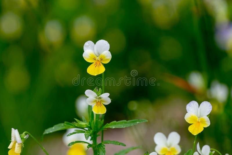 Löst gult Pansy Flowers In A fält arkivfoton