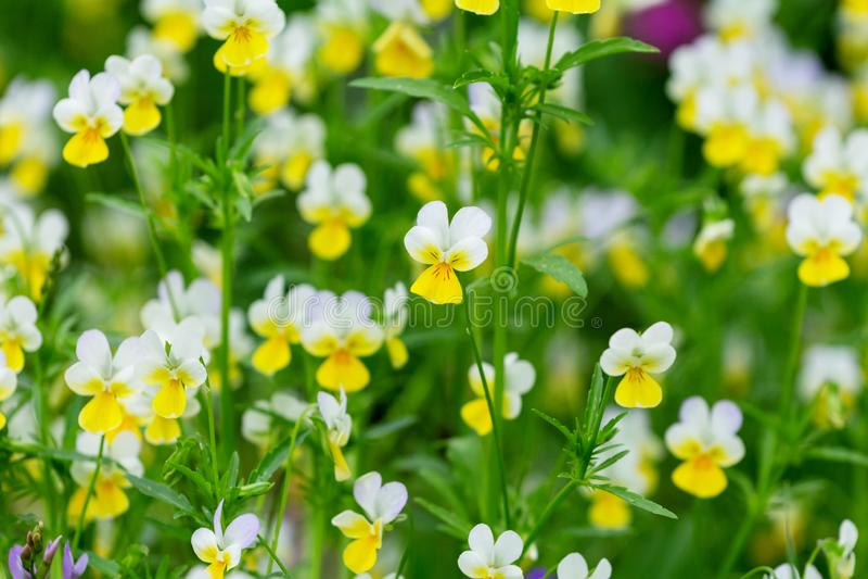 Löst gult Pansy Flowers In A fält arkivfoto