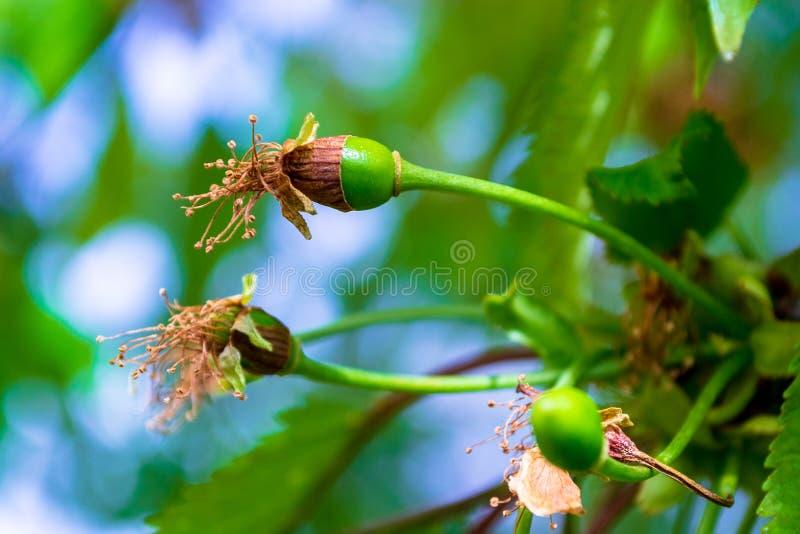 Löst körsbärsrött Prunusaviumslut upp av en bilda gräsplan, ung frukt, med bruntet, torra blommor som fästas fortfarande arkivbilder