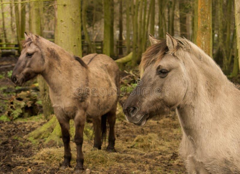 Löst Konik hästar royaltyfri foto