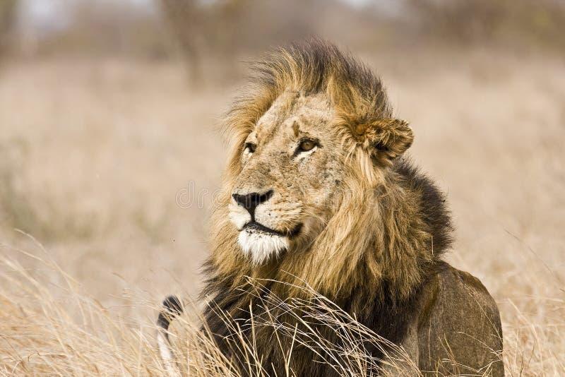 Löst manligt lejon, Kruger nationalpark, Sydafrika royaltyfria bilder