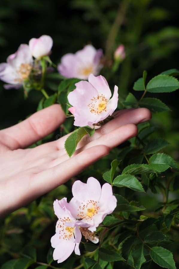 Löst steg blommor med den kvinnliga handen på mörk bakgrund royaltyfria foton