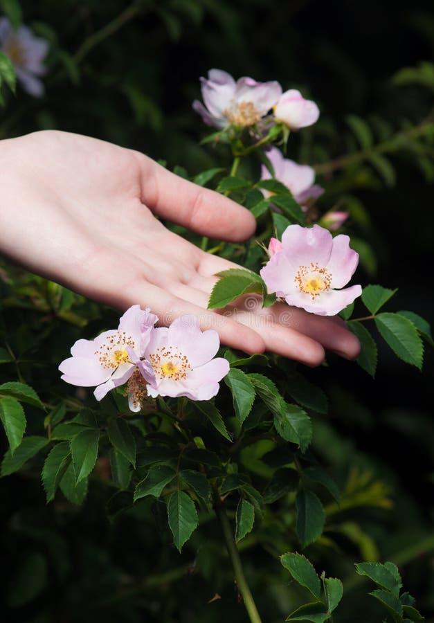 Löst steg blommor med den kvinnliga handen på mörk bakgrund fotografering för bildbyråer