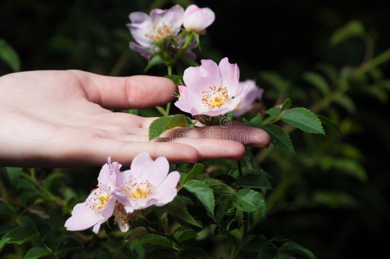 Löst steg blommor med den kvinnliga handen på mörk bakgrund royaltyfri bild