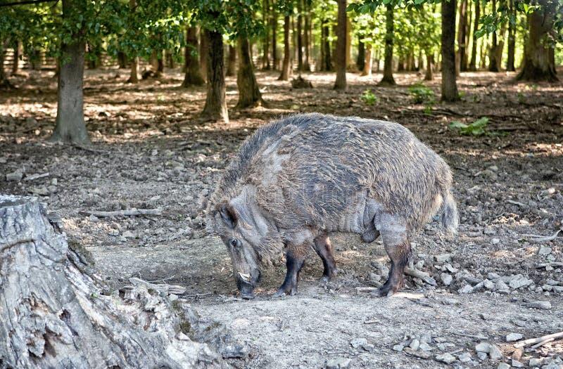 Löst svin i naturreserv royaltyfria bilder
