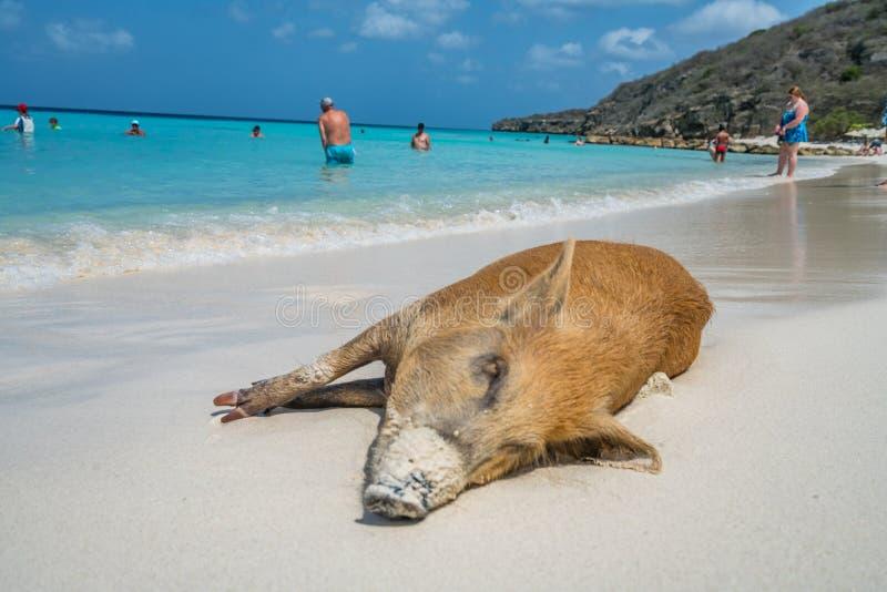 Löst svin - PortoMari strand Curacao arkivbild