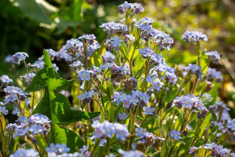 Löst vårljus - alpin blått glömma-mig-nots blommaMyosotisalpestris royaltyfri fotografi