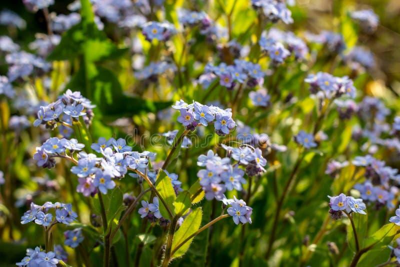 Löst vårljus - alpin blått glömma-mig-nots blommaMyosotisalpestris arkivfoto