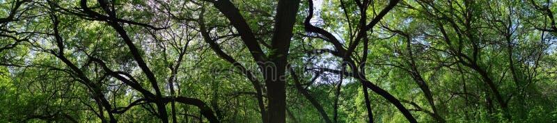 lövfällande träd för panoramaskog arkivbilder