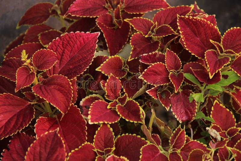 Lövrik röd växt arkivbilder