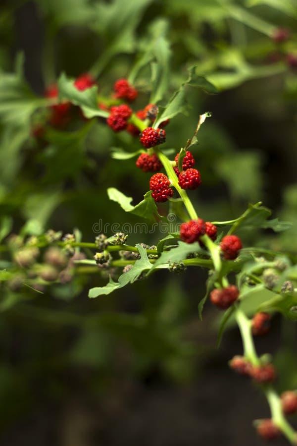 Lövrik syn för goosefootBlitum virgatum Chenopodiumfoliosum Jordgubbespenat är exotiska röda bär med ett grönt blad vegan royaltyfri bild