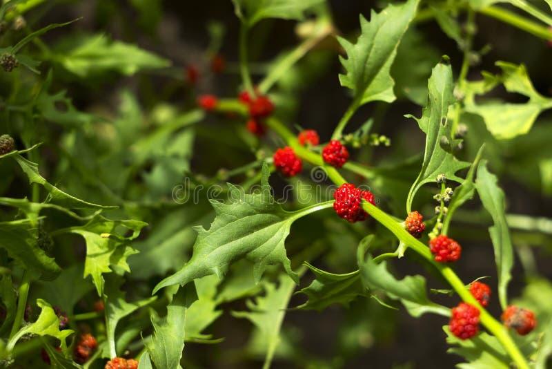 Lövrik syn för goosefootBlitum virgatum Chenopodiumfoliosum Jordgubbespenat är exotiska röda bär med ett grönt blad vegan arkivbild