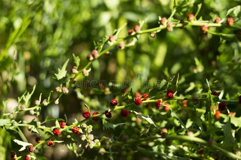 Lövrik syn för goosefootBlitum virgatum Chenopodiumfoliosum Jordgubbespenat är exotiska röda bär med ett grönt blad vegan royaltyfria bilder