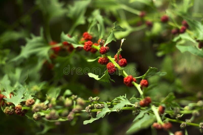 Lövrik syn för goosefootBlitum virgatum Chenopodiumfoliosum Jordgubbespenat är exotiska röda bär med ett grönt blad vegan arkivbilder