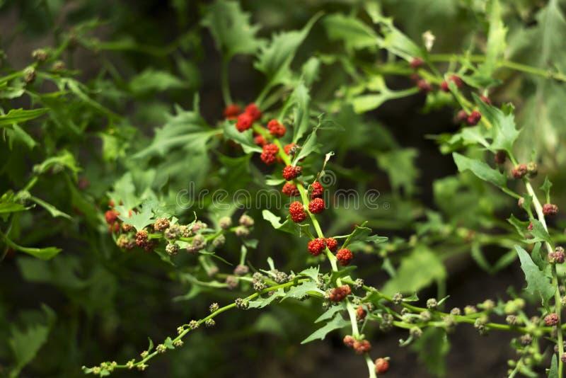 Lövrik syn för goosefootBlitum virgatum Chenopodiumfoliosum Jordgubbespenat är exotiska röda bär med ett grönt blad vegan arkivfoton