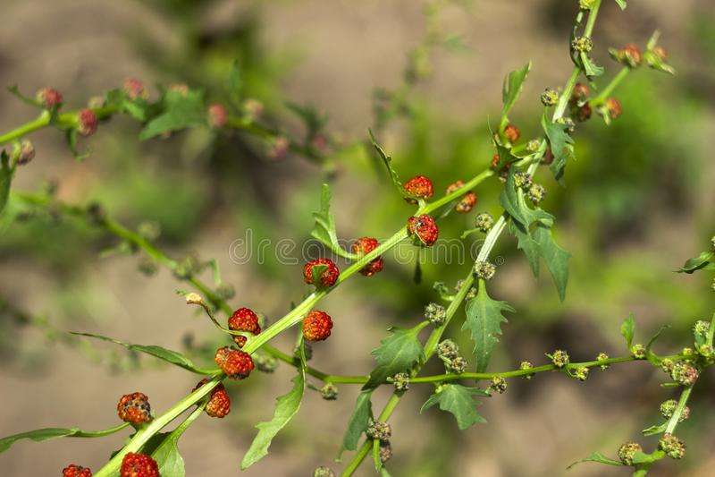 Lövrik syn för goosefootBlitum virgatum Chenopodiumfoliosum Jordgubbespenat är exotiska röda bär med ett grönt blad vegan royaltyfria foton