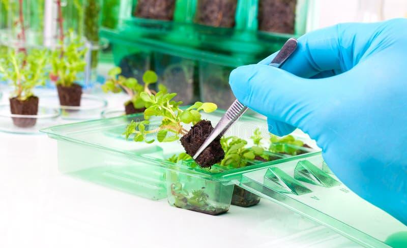 Lövrik växt med pincett nästa tn laboratoriumet fotografering för bildbyråer
