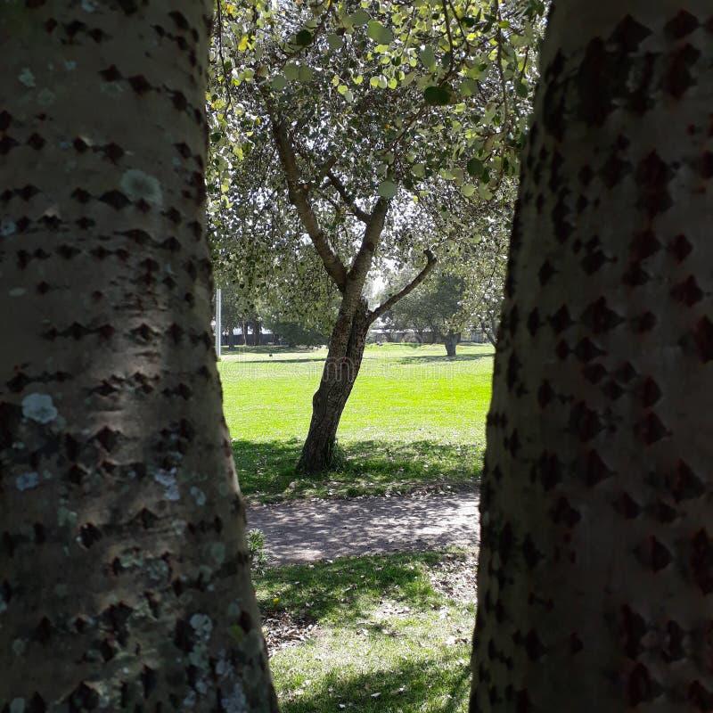 Lövrikt träd som igenom ses ett annat träd med splittringstammen arkivbild