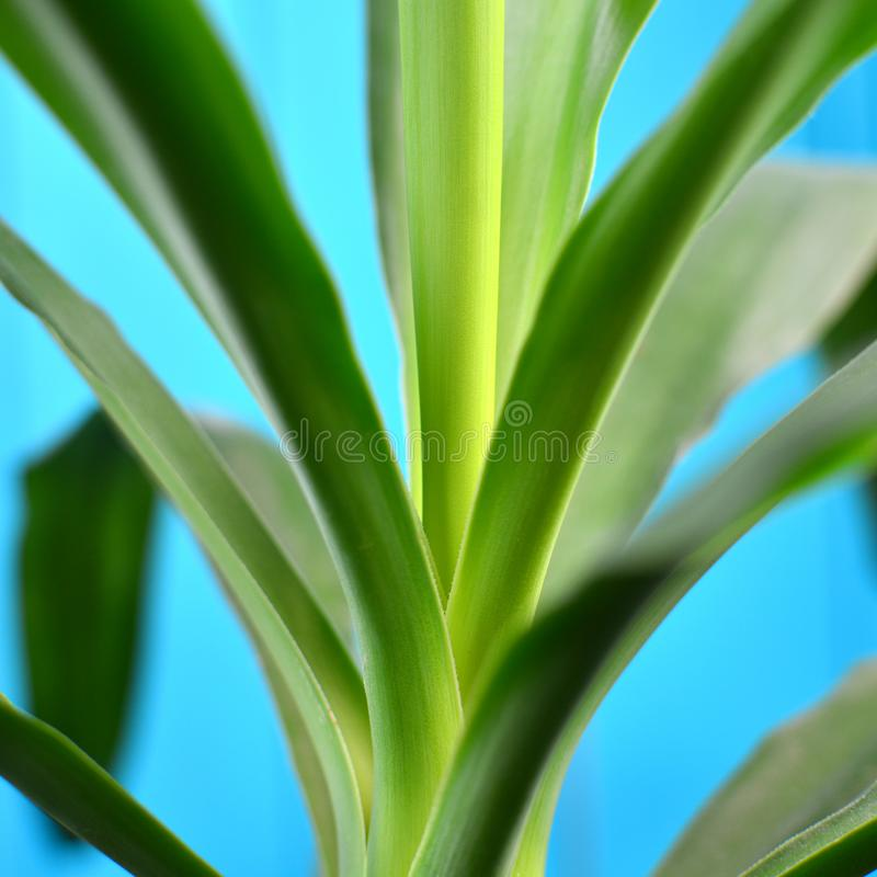 Lövverk av den hem- yukkapalmträdet, fyrkantig riktning royaltyfri foto