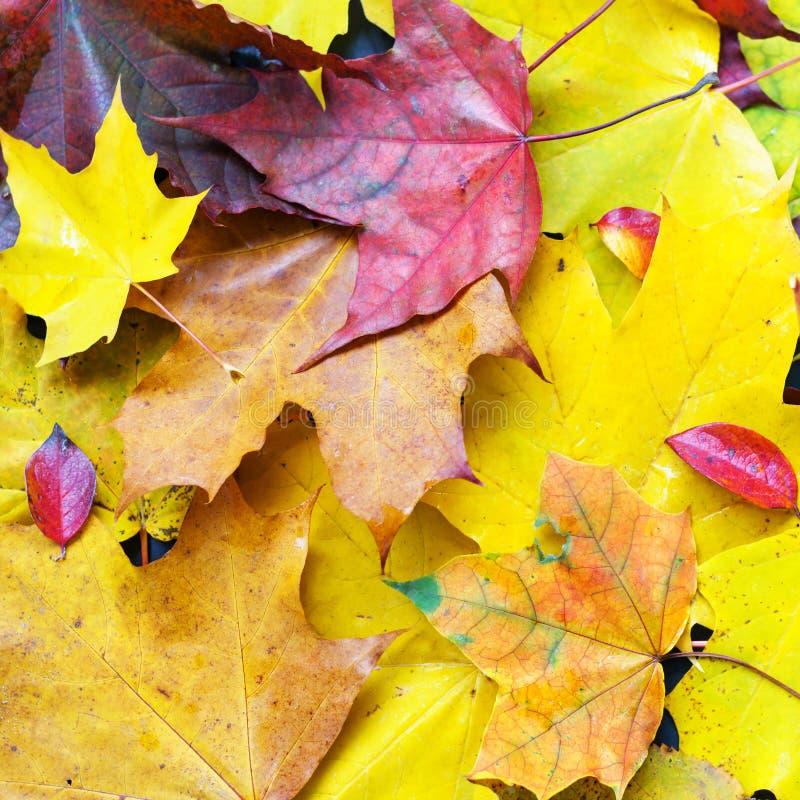 Lövverk för höst för nedgångbakgrundsfron färgrik arkivfoton