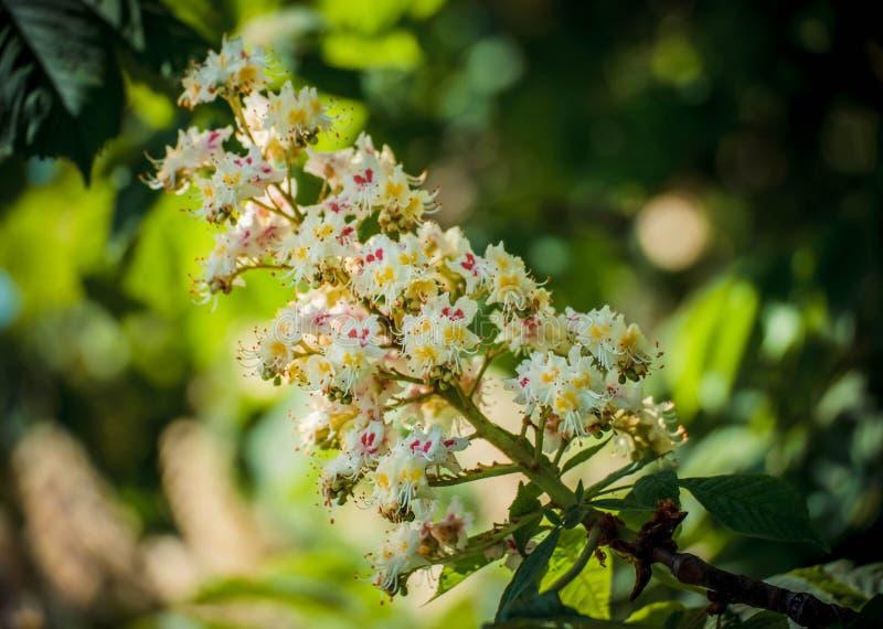 Lövverk och blommor av den kastanjebruna Aesculushippocastanumen blommor för Häst-kastanj Conkerträd, blad royaltyfri fotografi
