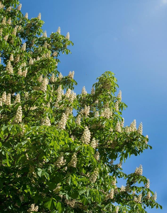 Lövverk och blommor av den kastanjebruna Aesculushippocastanumen blommor för Häst-kastanj Conkerträd, blad royaltyfri bild