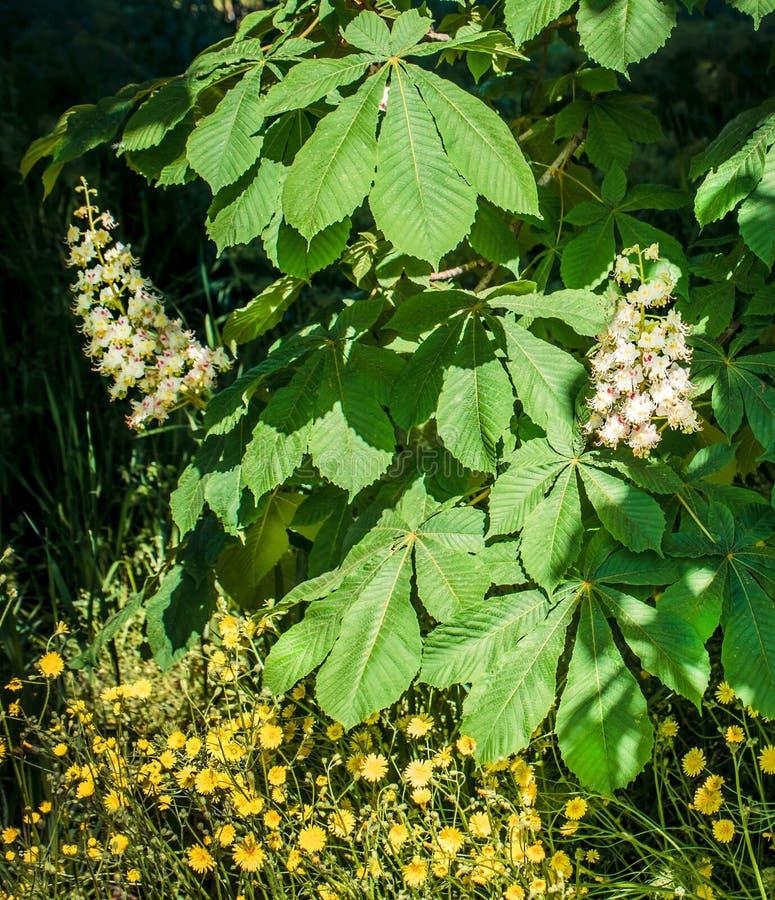 Lövverk och blommor av den kastanjebruna Aesculushippocastanumen blommor för Häst-kastanj Conkerträd, blad arkivfoto