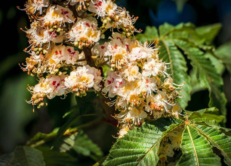Lövverk och blommor av den kastanjebruna Aesculushippocastanumen blommor för Häst-kastanj Conkerträd, blad arkivbild