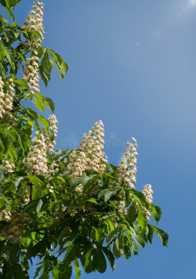 Lövverk och blommor av den kastanjebruna Aesculushippocastanumen blommor för Häst-kastanj Conkerträd, blad fotografering för bildbyråer