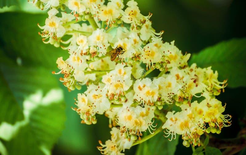 Lövverk och blommor av den kastanjebruna Aesculushippocastanumen blommor för Häst-kastanj Conkerträd, blad royaltyfri foto