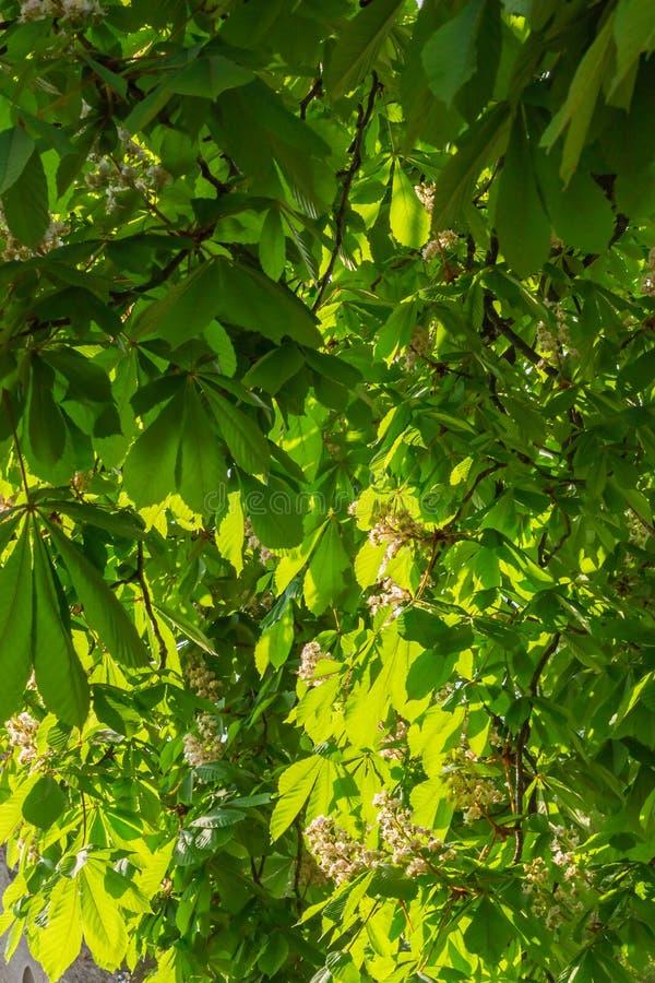Lövverk och blommor av hippocastanum-naturlig bakgrund för kastanjebrun Aesculus royaltyfri bild