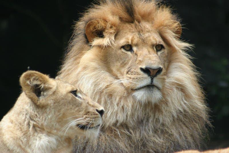 Löweüberwachen lizenzfreie stockfotografie