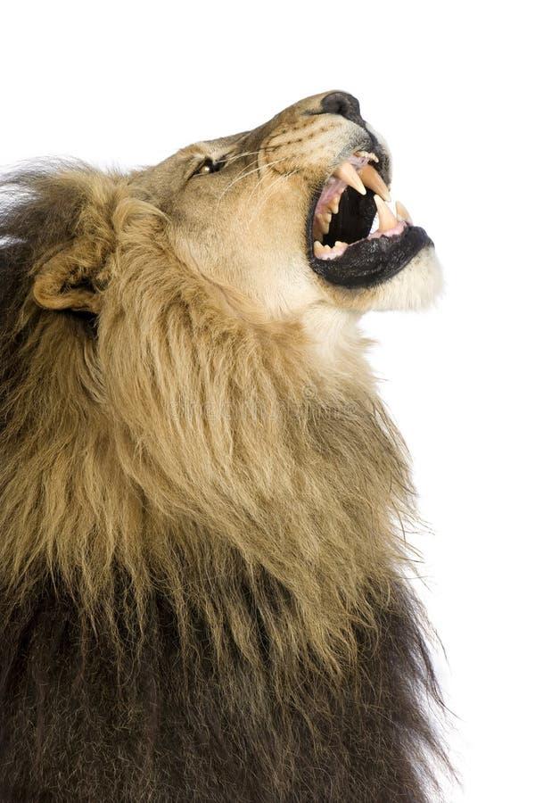Löwe (4 und eine Hälfte Jahr) - Panthera Löwe stockfotografie
