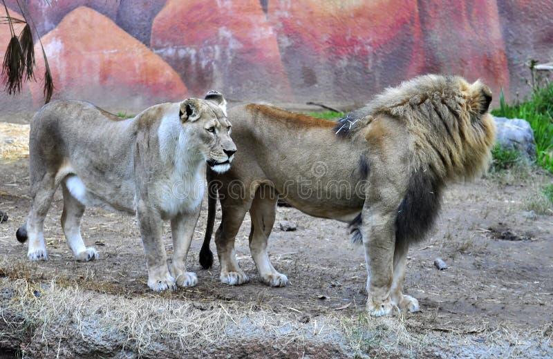 Löwe stockfotos