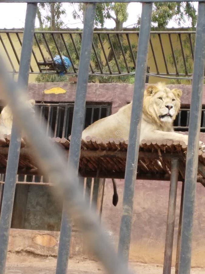 Löwe lizenzfreies stockfoto