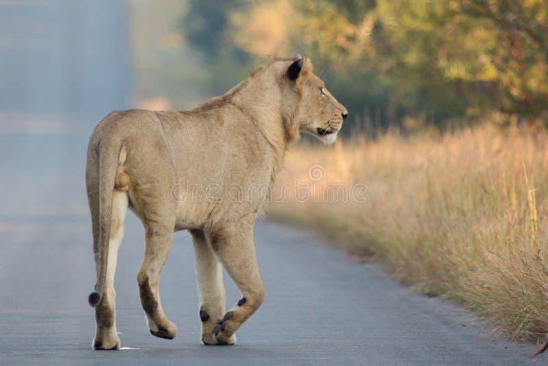 Löwe auf dem Prowl stockbilder