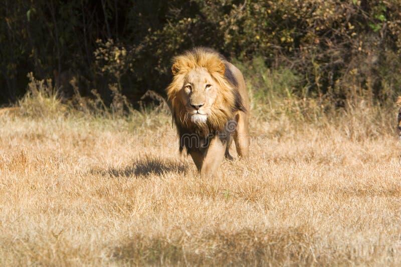 Löwe auf der Ladung lizenzfreie stockfotografie
