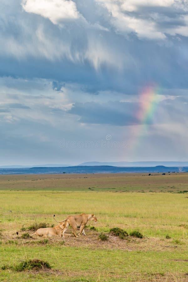 Löwe auf der Savanne mit Donnerwolken stockfotos