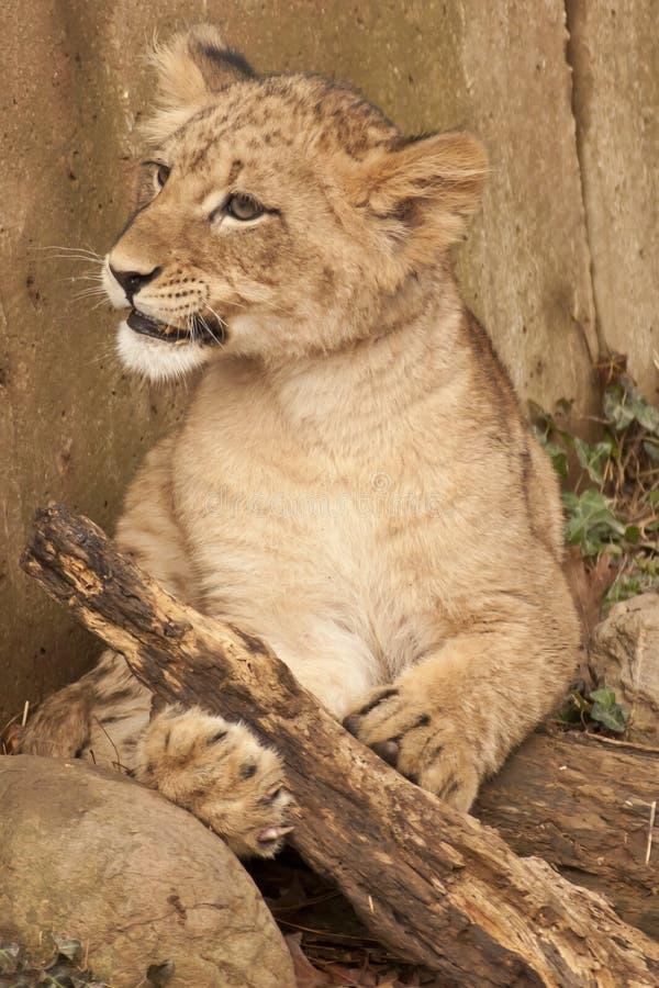Löwe Cub lizenzfreie stockfotos